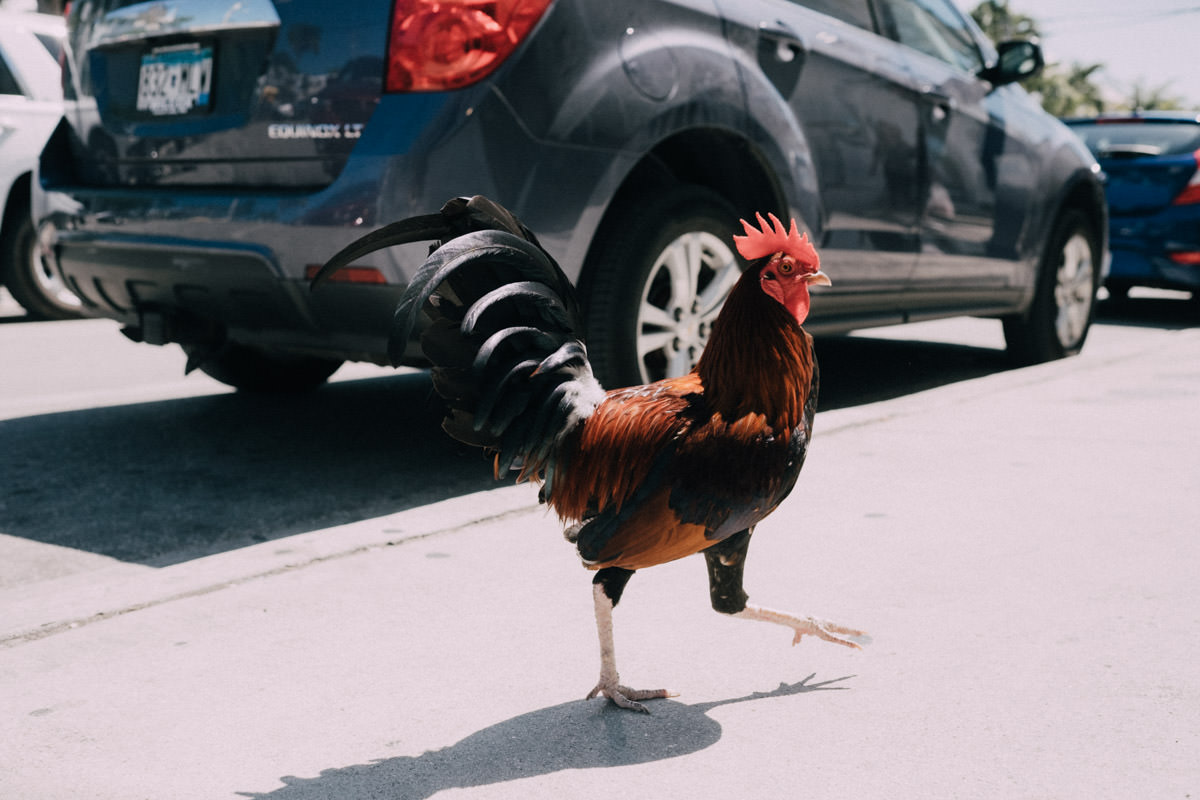 hemingway home wedding key west florida chicken on the street